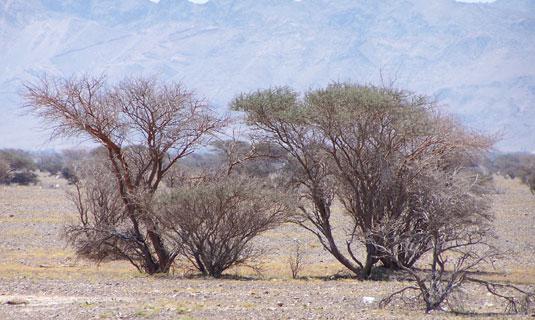 Деревья прерии